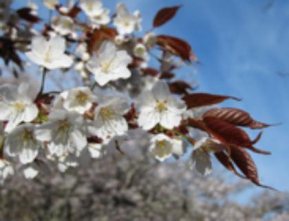 町の花「シロヤマザクラ」