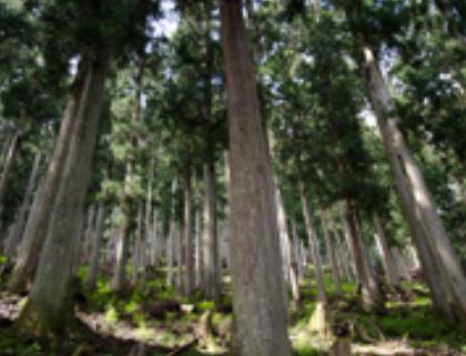町の木「吉野杉」