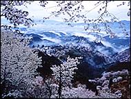 rekishi_sakura.jpg