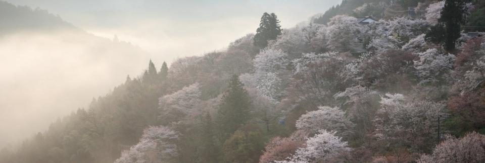 slide-sakura.JPG